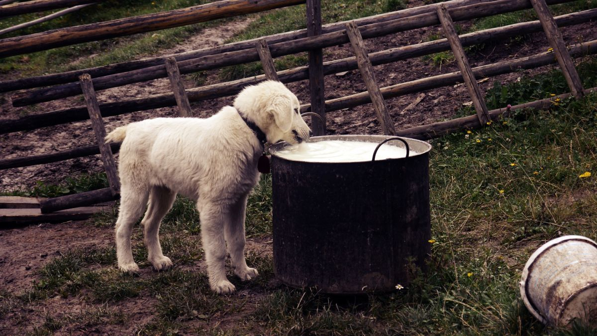 coconut milk for dogs